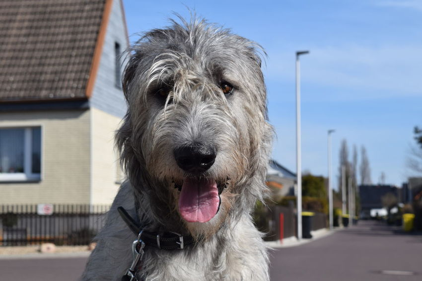 One Animal Portrait Looking At Camera Domestic Animals Animal Themes Architecture Winter 2017 March 2017 Cearnaigh Irish Wolfhound Dogs Of Winter Dogslife Dogs Of EyeEm Dog Of The Day Bokeh Dogwalk Outdoors No People Dog Animal Body Part Animal Head  Blue Sky