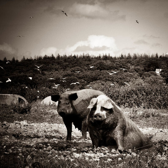 2 Fat Pigs 2 Pigs Animal Family Animal Themes Beauty In Nature Day Farm Scene Field Grass Grazing Herbivorous Landscape Mammal Nature Orwelian Outdoors Paula Puncher Pig Portrait Pigs And Seagulls Pigs In Farm Pigs In Mud Rural Scene Sepia Photograph Of Pigs Sky Zoology