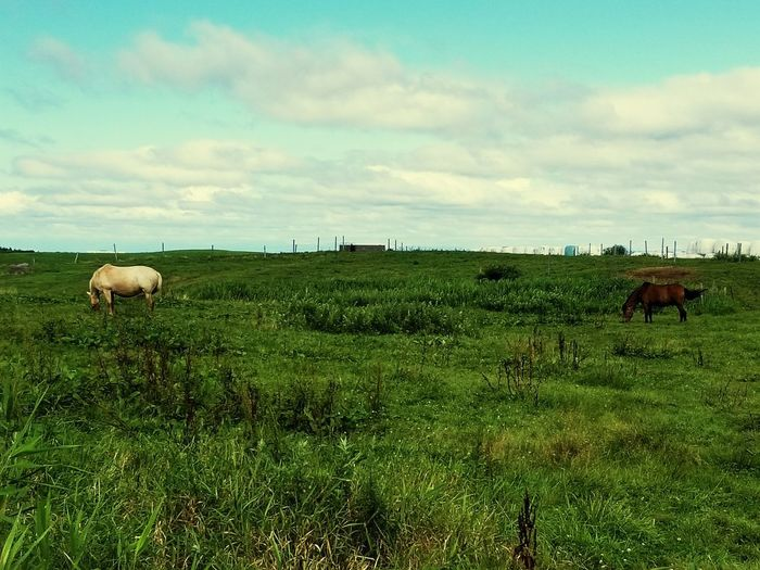 Livestock Animal Agriculture Animal Themes Grazing Domestic Animals Mammal Grass Rural Scene Field Landscape Nature Cloud - Sky Sky Outdoors No People American Bison Animals In The Wild Large Group Of Animals Day The Week On EyeEm Investing In Quality Of Life