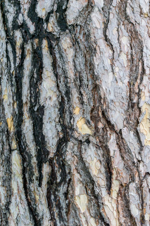 Black Pine Tree Bark. Austrian Pine Tree Austrian Pine Bark Form Natural Nature Pinus Pinus Nigra Textured  Tree Tree Bark Wood Bark Texture Black Pine Brown Close-up Natural Condition Pattern Pine Tree Plant Bark Rough Structure Surface Texture Wood - Material Wooden