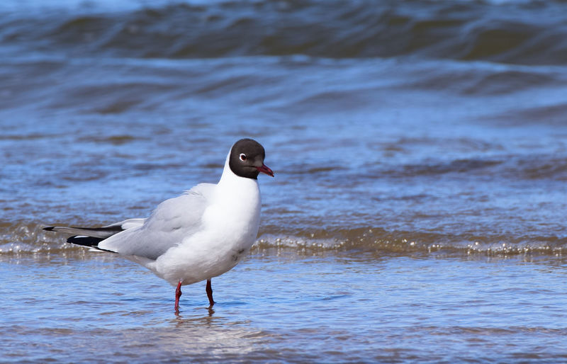 close up cute sea bird standing on sandy beach Lovely Animal Wildlife One Animal View Cute Natural Beautiful Copy Space Sea Water Bird Water Portrait Beach Sea Animal Themes Close-up Seagull Water Bird Sea Bird Spread Wings Black-headed Gull