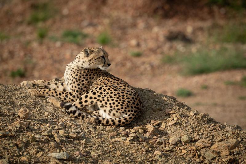 High angle view of cheetah sitting on rock