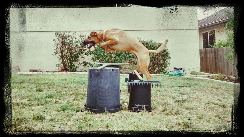 I taught my amazing year old puppy to jump, I love u Scoutie! German Shepherd Boxer Crazy Genius