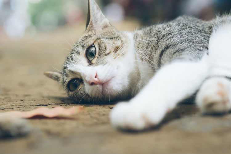 Cat relaxing on floor Domestic Mammal Animal Themes Animal Pets Cat Domestic Animals Domestic Cat Feline One Animal Vertebrate Relaxation Animal Body Part Lying Down Whisker Portrait Animal Head  Animal Eye Tabby