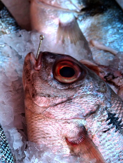 Animal Vertebrate Close-up Animal Themes Eye One Animal Animal Body Part Animal Eye No People Animals In The Wild Fish Raw Food Food And Drink Day Animal Wildlife Food Freshness Outdoors Wellbeing Animal Head  Marine Mouth Open Animal Mouth