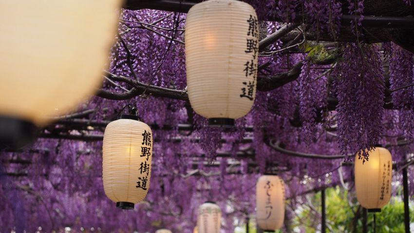 熊野街道 藤祭り Spring Beautiful Nature Flowerlovers Flower Photography EyeEm Nature Lover EyeEm Best Shots Beautiful ♥ Purple Flower