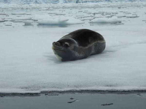 Seal. But looks like a stone! Animal Themes Animal Watching Animal Wildlife Animals In The Wild Antarctic Peninsula Aquatic Mammal Cold Temperature Ice Iceberg Nature No People One Animal Outdoors Sea Sea Life Seal Seal - Animal Water