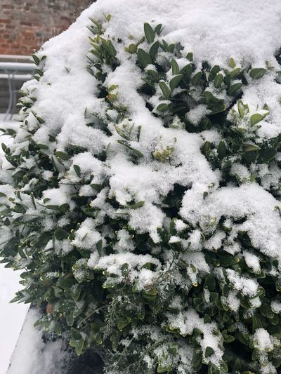 Winter Garden Winter Pot Plants Snow Fall Winter Snow Growth White Color Nature Cold Temperature Plant No People Outdoors Day Green Color Beauty In Nature Flower Leaf Flower Head Fragility Freshness Close-up