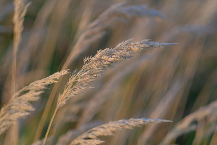 Wheat in late summer Plant Growth Day Close-up Focus On Foreground Nature No People Field Beauty In Nature Land Crop  Selective Focus Agriculture Outdoors Wheat Corn Close Up Closeup Beige Beige Background Fokus On Foreground Copy Space Sunlight Summer Harvest