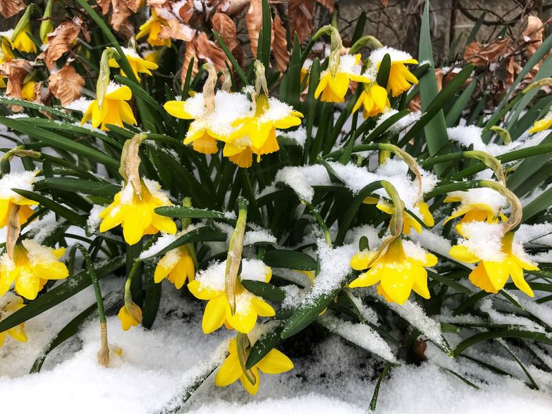 "Daffodils covered in snow when ""Storm Emma"" arrived in Sherborne, Dorset on the first day of Spring, 1st March 2018 2018 Zany Cold Weather Cold Temperature Unseasonable Weather Snow Storm Emma Flower Fragility Yellow Petal Freshness Flower Head Nature Beauty In Nature Outdoors Growth Plant Close-up Day Springtime Blooming No People Daffodil"