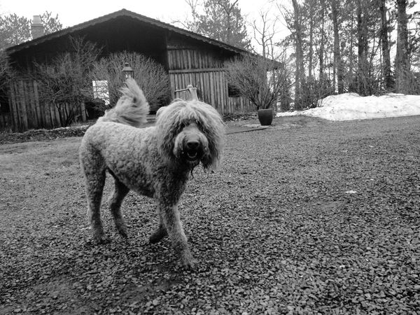 QVHoughPhoto Duluth Minnesota Goldendoodle Outdoors Blackandwhite IPhone4s IPhoneography