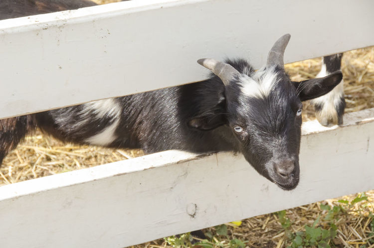 Escape Artist Farm Farm Animal Fence Fenced In Goat Grass Mammal Nature No People One Animal Outdoors