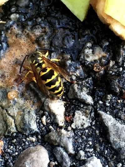 Hornet - Yellow Jacket Hornet Nature Wildlife Wildlife & Nature Hornets Wasp Environment Insects  Nature On Your Doorstep Pavement Yellow Jacket Insect Insecta Anthropoda Pests Pest