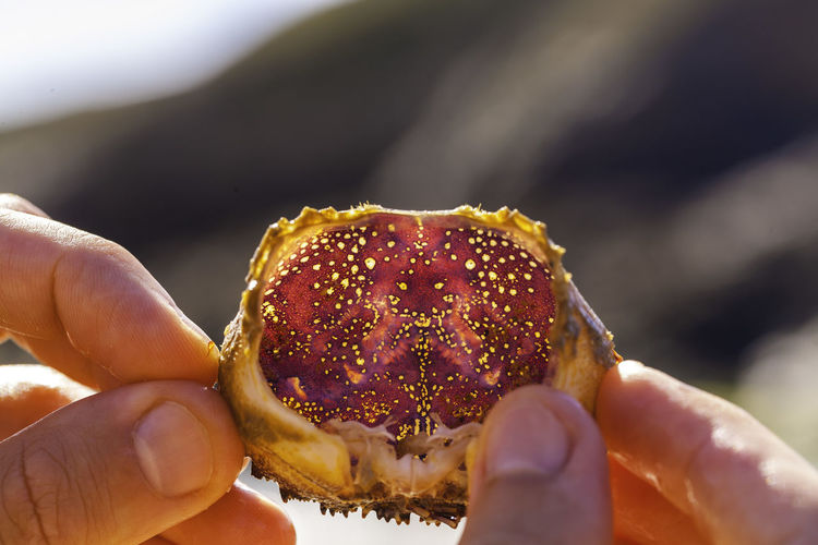 Close-up of hand holding crab carapace