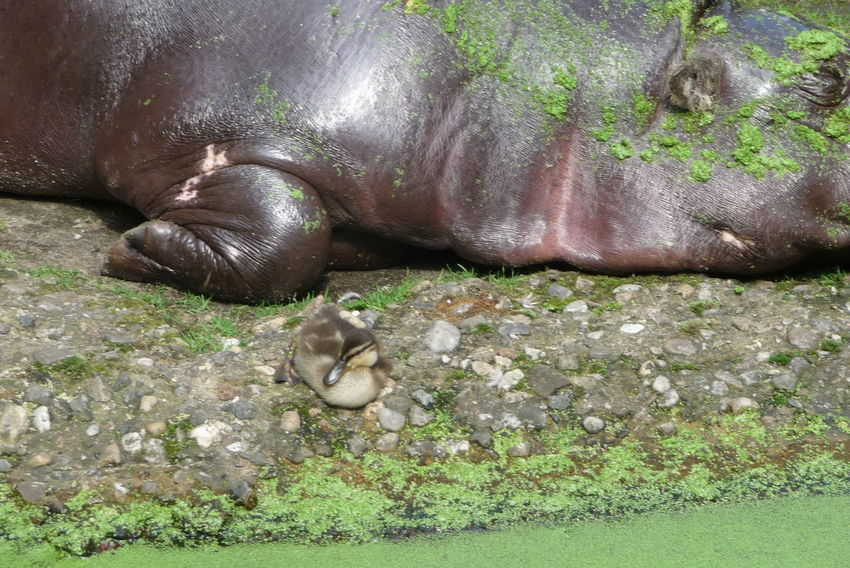 End of June 2014: When walking by the pygmy hippos enclosure I suddenly stopped. Something hat caught my eyes. A duckling sitting next to a sleeping hippo? Watched it for a while, but then I had to go. Animal Animal Friends Animal Themes Brown Discovery Duck Duckling Friendship Green Color Hippo Hippo And Duck Hippo And Duckling Hippopotamus Pygmy Hippopotamus Sleeping Sleeping Hippo Ungleiches Paar Unusual Pair Zoo Zoological Garden Zoologischer Garten Berlin Zwergflusspferd