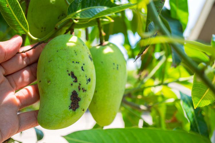 Cropped image of hand holding fruit