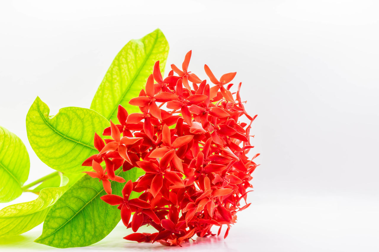 red, white background, studio shot, freshness, leaf, plant part, close-up, green color, flower, beauty in nature, indoors, plant, flowering plant, vulnerability, petal, fragility, nature, flower head, no people, inflorescence