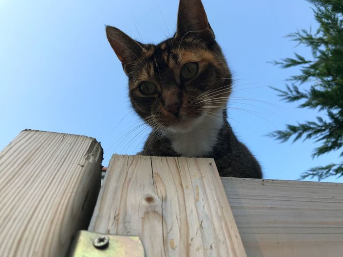 Domestic Cat Domestic Animals Mammal Pets Feline Animal Themes One Animal Wood - Material Cat Whisker No People Day Sitting Low Angle View Blue Outdoors Portrait Clear Sky Sky Close-up No Edit/no Filter