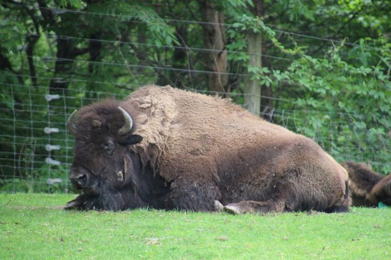 American Bison One Animal Animal Themes No People Grass Outdoors