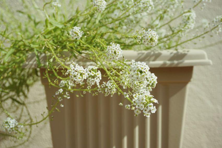 Alyssum Alyssum White Flower Pot Close-up Flower Close-up Plant In Bloom Blooming Botany Flower Head Petal Plant Life