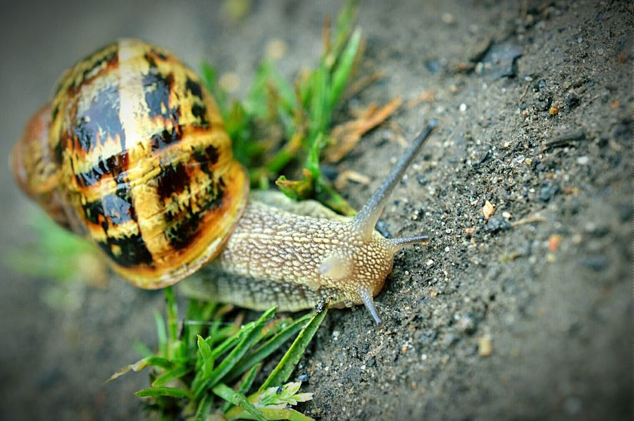 Snail Snail🐌 Snail Collection Snail Photography Snail Shell Antenna Antennae Snail On Grass Green Grass Nature Nature Photography EyeEm Nature Lover Macro Macro Photography Macro Snail Macro Nature Nikon D3200