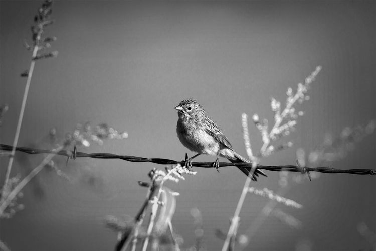 Sparrow on barbed wire Bird One Animal Animal Themes Animals In The Wild Songbird  Perching Nature Sparrows Outdoors Cute Animals Beautiful Animals  B&W Collection B&W Obsession B&w Photography Black & White Photography Black & White Blackandwhite Black And White Photography Black And White Fine Art Wildlife Wildlife Photography