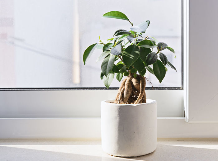 Potted Ficus Bonsai on light windowsill. Indoor flower for office concept Copy Space Ficus Tree Plant Tree Abstract Bonsai Close-up Day Fig Freshness Growth Home Interior Indoor Indoors  Leaf Minimalism Nature No People Plant Potted Plant Vase White Window Window Sill Windowsill