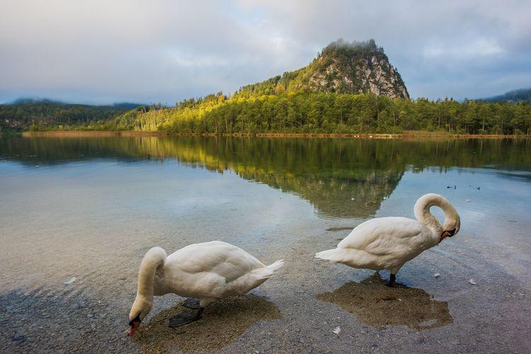 Berge Herbststimmung Salzkammergut Schwan  Vogel Almsee Entertainment See