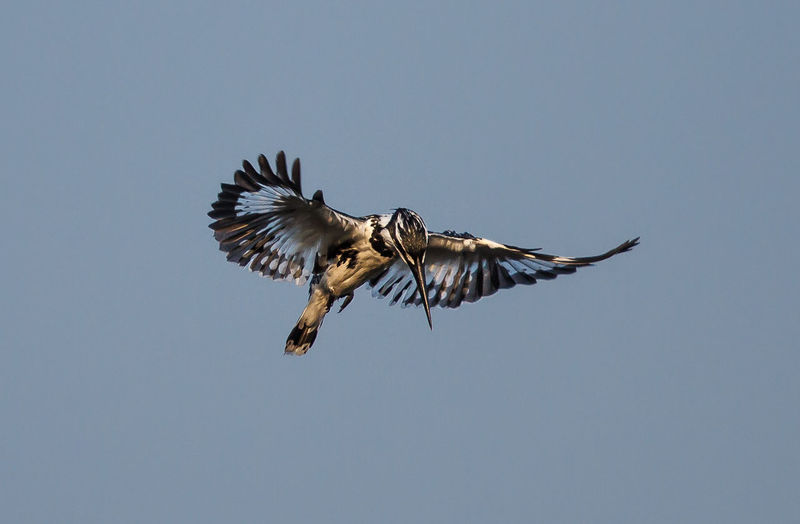 Low angle view of pied kingfisher flying against clear sky