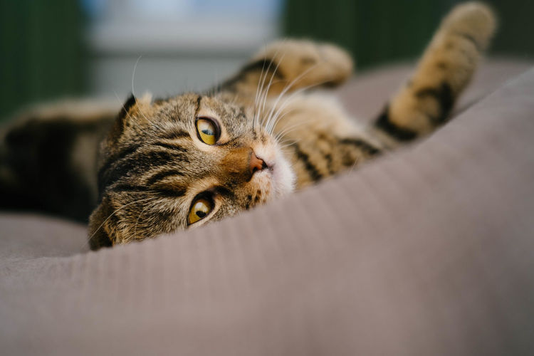 Cat Domestic Cat Domestic Feline Mammal Animal Themes Pets Domestic Animals Animal One Animal Relaxation Lying Down Portrait Furniture Vertebrate Looking At Camera No People Indoors  Bed Resting Whisker Animal Head  Tabby Animal Eye