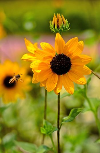 Close-Up Of Honey Bee Flying By Sunflower