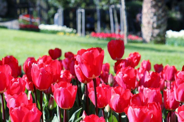 Tulip Lale Emirgan Korusu Istanbul City