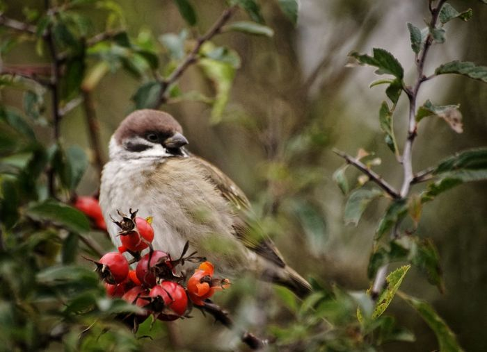 The Week On EyeEm 2017 Okt Niklas Showcase October 2017 Animal Wildlife Animals In The Wild Bird Perching Tree One Animal No People Nature Animal Themes Branch Fruit Day Flower Food Outdoors Full Length Beauty In Nature Close-up House Sparrow Perspectives On Nature