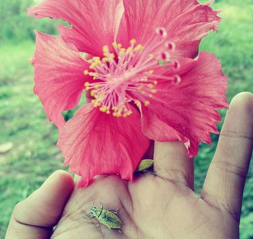 bunga kebangsaan Hibiscus Flowers Hobby Passion Takingpictures Anything Naturelovers Classichdr Vivo Vivography Y35 Phonegrapher Phonegraphy