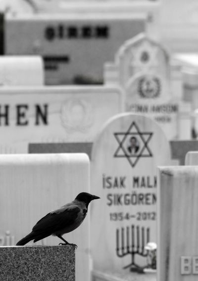 Istanbul Jewish Krähen Turkey Animal Themes Animal Wildlife Animals In The Wild Bird Close-up Crowd Day Focus On Foreground Graveyard Karga No People One Animal Outdoors Perching Text The Still Life Photographer - 2018 EyeEm Awards