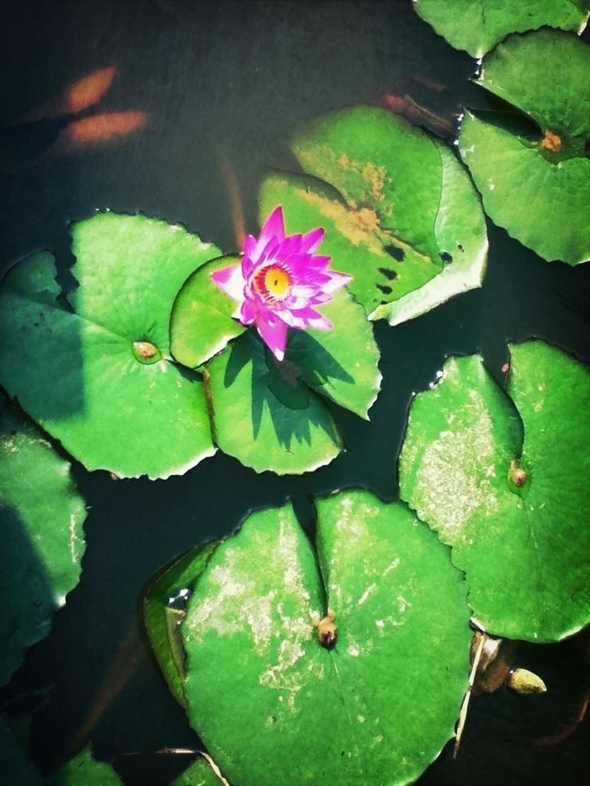 leaf, water lily, pond, floating on water, flower, water, green color, growth, lotus water lily, freshness, plant, fragility, beauty in nature, high angle view, nature, petal, close-up, leaves, flower head, reflection