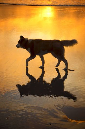 Sea Nature Domestic Beasts Dog Sunset Beach Light Mirror Golden Hour California Dreamin