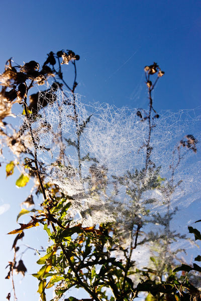 Dewy spiderweb in tree Beauty In Nature Branch Chaos Clear Sky Close-up Day Fragility Freshness Growth Low Angle View Nature No People Outdoors Sky Spiderweb Spiderweb In Morning Dew Tree