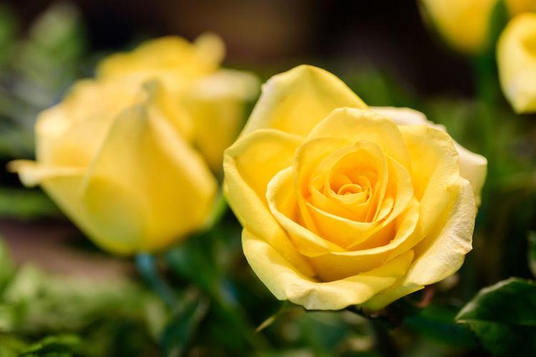 Piece of lemon meringue pie on white dish Aroma Beautiful Beauty Bloom Blooming Blossom Close Up Decoration Flora Floral Flower Fragrant Fresh Indoor Light Love Nature Petal Rosé Yellow Flowering Plant Plant Beauty In Nature Fragility Flower Head Rose - Flower Freshness Close-up Inflorescence