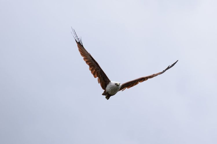 Animal Themes Animals In The Wild Beauty In Nature Bird Bird Of Prey Brahmani Kite Clear Sky Eagle - Bird Flight Flying Low Angle View Nature No People One Animal Outdoors Scenics Spread Wings Tranquility Wildlife Zoology