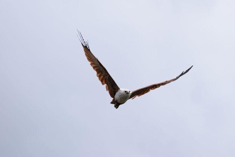 Brahminy kite flying in sky