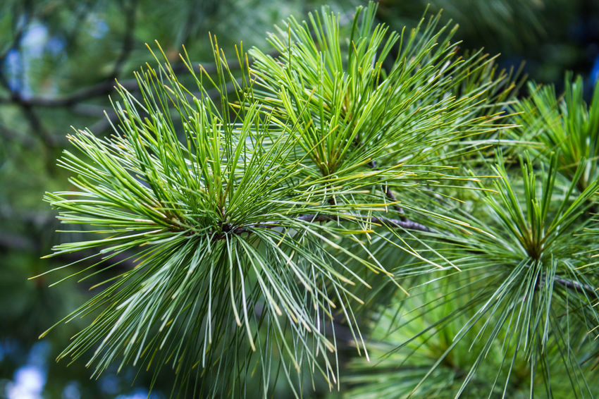 Pine Tree Beauty In Nature Close-up Green Color Growth Nature