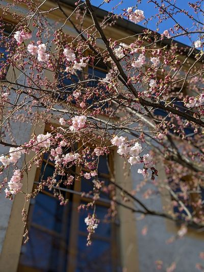 springtime Spring Pretty In Pink Spring In The City Tree Flower Branch Springtime Blossom Close-up Sky Cherry Tree Cherry Blossom In Bloom
