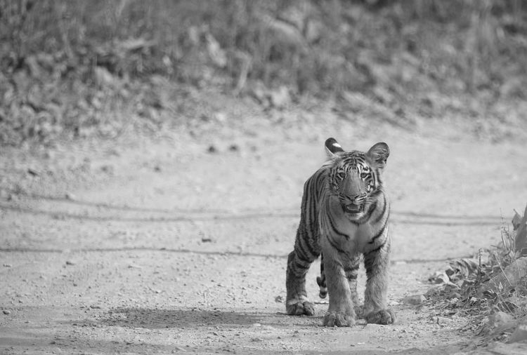 Tiger Cub on Safari path! Animal Animal Picture Animal Themes Animal Walpapers Black Black And White Blackandwhite Focus On Foreground Nature Photography Nature Wallpaper Nature_collection Naturelovers No People Tiger Wildlife Wildlife & Nature Wildlife Wallpapers, Zoology