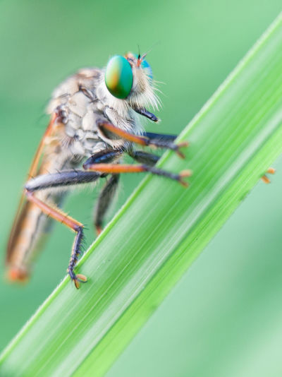 Close-up of robberfly on leaf