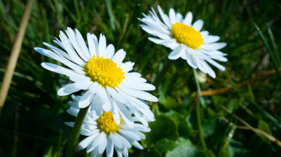 Flower Flowering Plant Fragility Vulnerability  Freshness Plant Beauty In Nature Growth Petal Inflorescence Close-up White Color Flower Head Yellow Nature No People Daisy Focus On Foreground Outdoors Field Pollen Spring