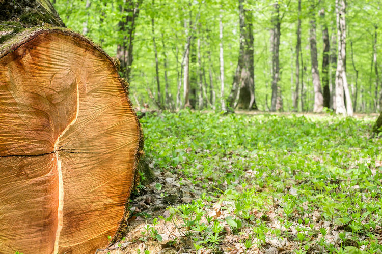 freshly cut tree in the spring forest Freshly Cut Tree In The Spring Forest Concept Destruction Tree Forest Plant Land Nature WoodLand Trunk Tree Trunk Green Color Day Non-urban Scene No People Beauty In Nature Grass Outdoors Brown Landscape Environment Animal Wildlife Animal Bright