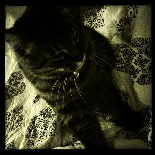 Ready To Sleep Getting Comfy My Cat Oscar