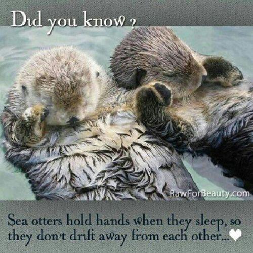 AWWWW!!! SeaOtter Otters Socute Holdinghands