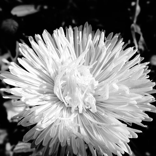 Aster flowers BW Flower Flower Head Nature Beauty In Nature Petal Close-up Outdoors Freshness No People Pink, Water Drops Plant Nature Leaf North Of Sweden